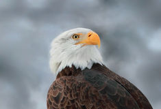 Portrait eagle Stock Photo