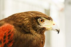 Portrait of eagle on blur background Stock Photos