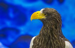 Portrait of eagle or Close up eagle.  Royalty Free Stock Image