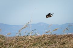 Portrait of an eagle descending rapidly to hunt among the rice fields of the Albufera National Park, in Valencia, Spain. Wildlife. Portrait royalty free stock photography