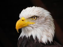 Portrait of an eagle - the look Stock Photo