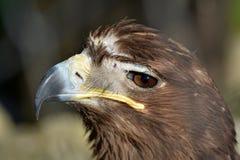 Portrait of an eagle. Eagle looks into the camera Stock Photo