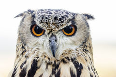 Portrait from Eagle Ow. Portrait from young female Eagle Owl - Outdoor Shot royalty free stock images