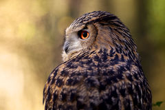 A portrait of an eagle owl. Looking to the left Stock Images
