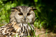 Portrait of eagle-owl Royalty Free Stock Photography