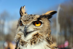 Portrait of an eagle owl Stock Photo