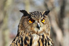 Portrait of the eagle owl Stock Photography