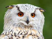 Portrait of an Eagle Owl. Before a green background Royalty Free Stock Images