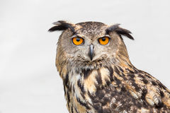 Portrait of eagle owl Royalty Free Stock Photos