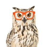 Portrait of an eagle owl with orange glasses. Seen from the front on a white background Royalty Free Stock Photo
