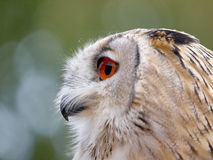 Portrait of an Eagle Owl. Staring sideways royalty free stock images