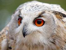 Portrait of an Eagle Owl. Staring sideways Stock Image