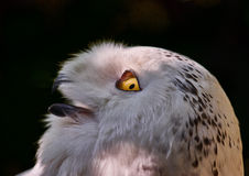 Portrait of an Eagle Owl. Staring sideways while a beam of light hits its eye Royalty Free Stock Photo