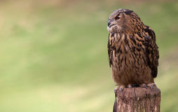 Portrait of an Eagle Owl. Eagle Owl staring sideways before a green background Stock Images