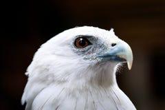 Portrait of a eagle Stock Images