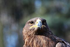 Portrait of the eagle. The steppe eagle breeds from Romania east through the south Russian and Central Asian steppes to Mongolia. The European and Central Asian Royalty Free Stock Images