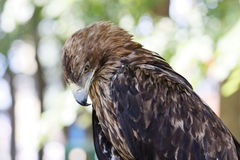 Portrait of a eagle who hung his head Stock Photos