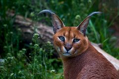 Portrait of eared caracal royalty free stock image