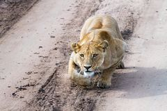 East African lionesses Panthera leo preparing to hunt Stock Photo