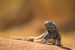 Portrait of eastern collared lizard Stock Photography