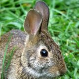 Thornhill portrait of eastern cottontail rabbit September 2017 Royalty Free Stock Image