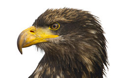 Portrait of the eastern eagle Royalty Free Stock Photography