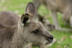 Eastern Gray Kangaroo Portrait. Portrait of an Eastern Gray Kangaroo laying in grass Royalty Free Stock Photos
