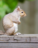 Portrait of eastern gray squirrel Stock Images