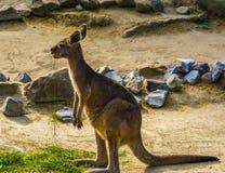 Portrait of a eastern grey kangaroo, tropical marsupial from Australia. A portrait of a eastern grey kangaroo, tropical marsupial from Australia stock photo