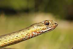 Portrait of eastern montpellier snake Royalty Free Stock Photography