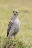 Portrait of an Eastern pale chanting goshawk Stock Photography