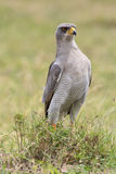 Portrait of an Eastern pale chanting goshawk stock photo