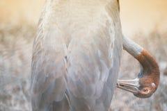 Portrait of Eastern Sarus Crane Grus Antigone Sharpii . Stock Photography