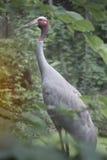 Portrait of Eastern Sarus Crane Grus Antigone Sharpii . Stock Image