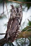 Portrait of an eastern screech owl. Eastern Screech Owl gray morph perched on a branch Stock Photography