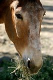 Portrait of an eating horse. A brown horse is looking into the camera during eating hay Royalty Free Stock Photography