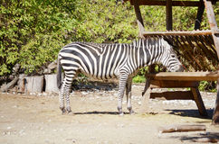 Portrait of eating Zebra Royalty Free Stock Photos