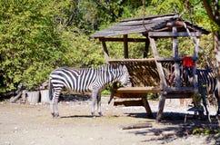 Portrait of eating Zebra Stock Image