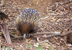 Portrait of Echidna looking down Stock Photos