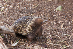 Portrait of Echidna looking up Stock Photo