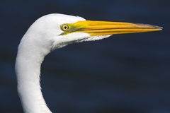 Portrait of an Egret Royalty Free Stock Images