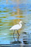 Portrait Egret is looking for food in water has reflection. And water background Royalty Free Stock Photos