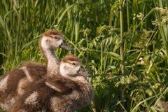 Portrait of Egyptian goose chicks royalty free stock photos