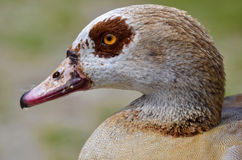 Portrait Egyptian Goose Stock Images