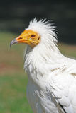 Egyptian Vulture Stock Photography