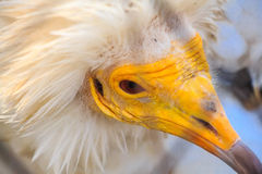 Portrait egyptian vulture or Neophron percnopterus Stock Photo