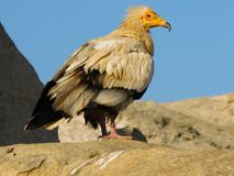 Portrait of Egyptian vulture, Soqotra Yemen. Portrait of Egyptian vulture, Soqotra island, Yemen Stock Photos