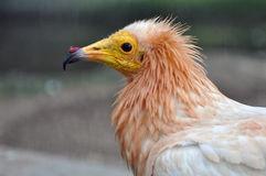 Portrait of Egyptian Vulture Royalty Free Stock Photos