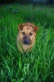 Portrait ein Hund, der die Kamera betrachtet Lizenzfreie Stockfotos