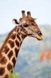 Portrait einer alten männlichen Giraffe Lizenzfreie Stockbilder